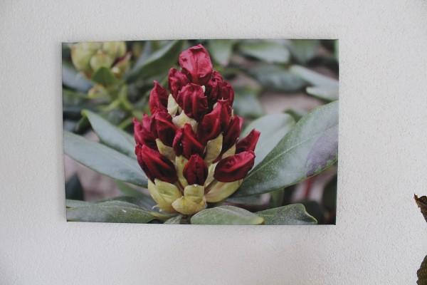 Bild Rhododendron Nr 3 Foto auf Leinwand rote Blüte 60x40